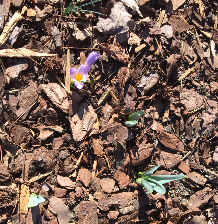 First crocus bloom of the year